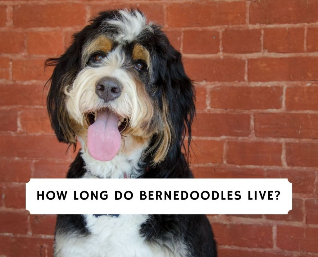 How Long Do Bernedoodles Live
