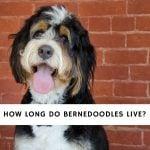 How Long Do Bernedoodles Live