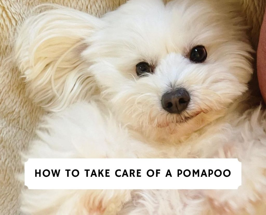 How to Take Care of a Pomapoo