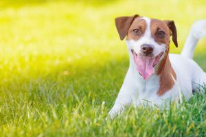 How to choose the best name for your Jack Russell dog