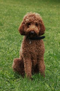 Labradoodles Are Mostly Hypoallergenic