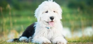 How to Choose a Name for your Old English Sheepdog Dog