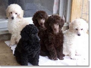 King Poodle Puppies