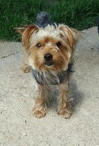 Kingsley Yorkshire Terrier
