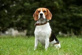 L.T. Beagles