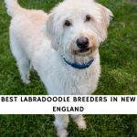 Labradoodle Breeders In New England