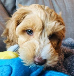 Labradoodle puppies for sale on the East Coast