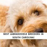 Labradoodle Breeders in South Carolina
