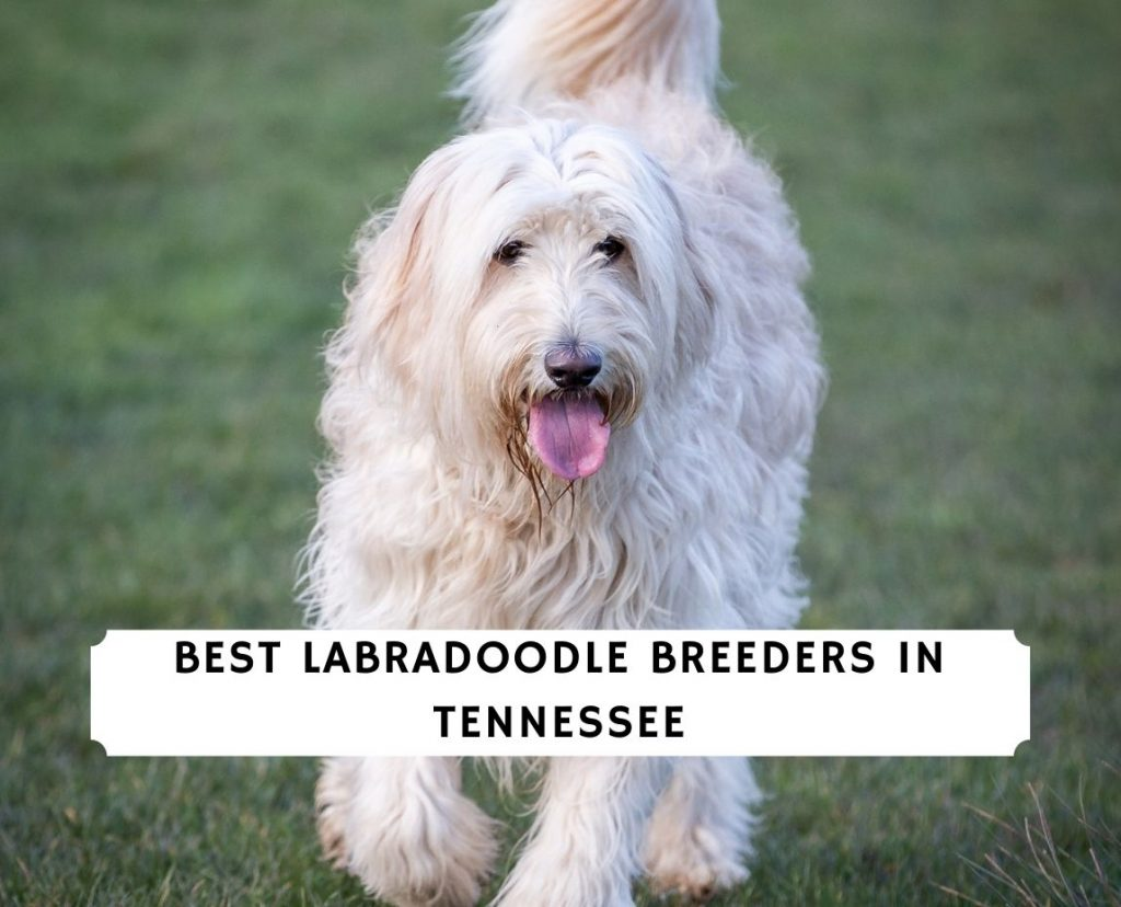 Labradoodle Breeders in Tennessee