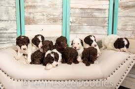 Labradoodle puppies for sale in Tennessee
