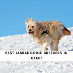 Labradoodle Breeders in Utah