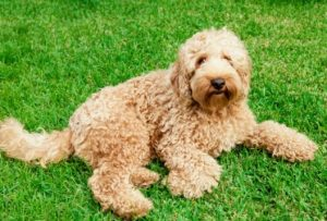 Labradoodle puppies for sale in Utah