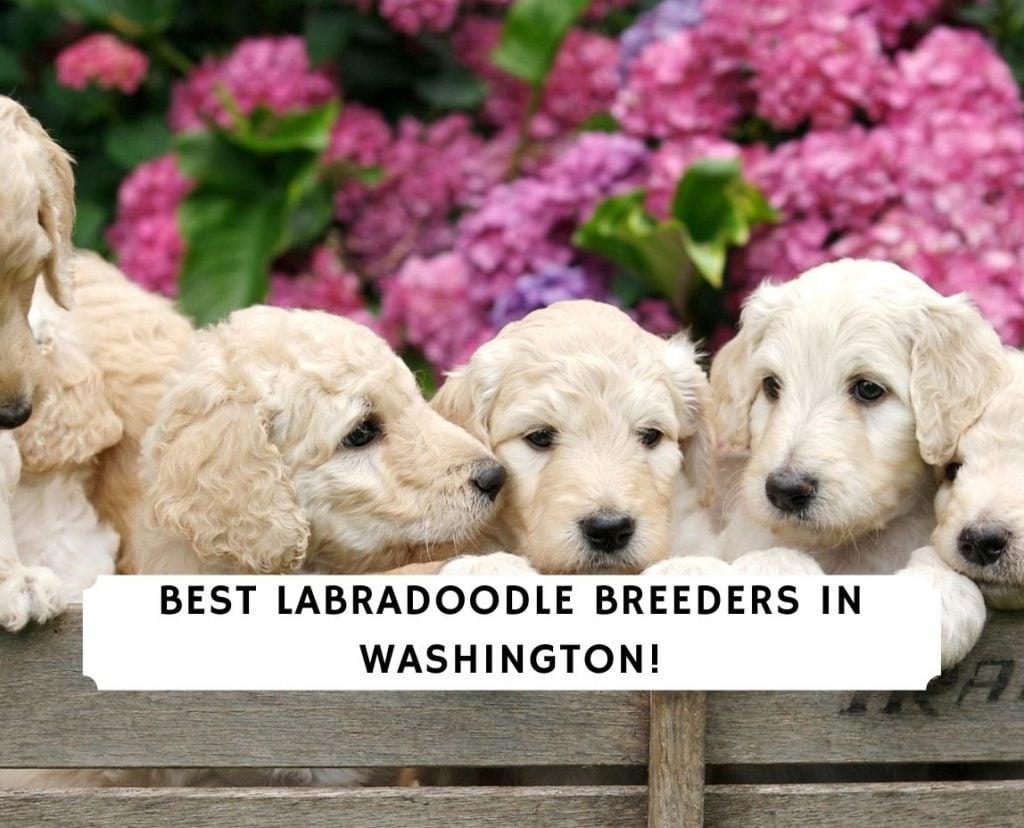 Labradoodle Breeders in Washington