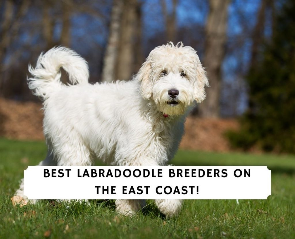 Best Labradoodle Breeders on the East Coast!