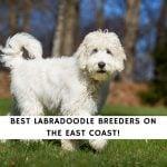 Best Labradoodle Breeders on the East Coast!