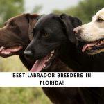 Labrador Breeders in Florida