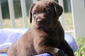 Labrador retriever puppies in Florida
