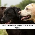 Labrador Breeders in New York (1)