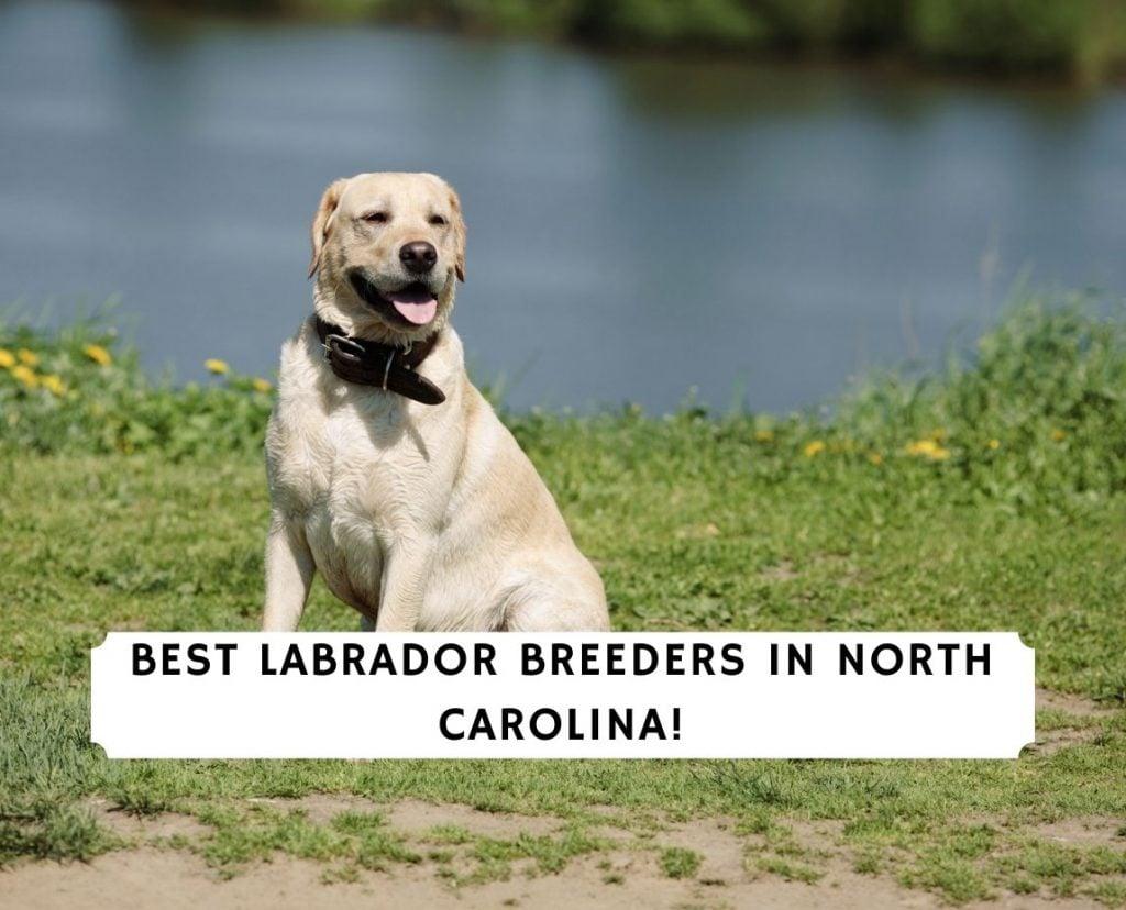 Labrador Breeders in North Carolina