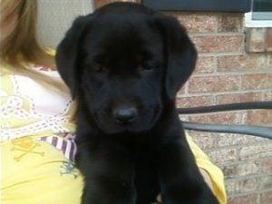 Labrador puppies for sale in North Carolina