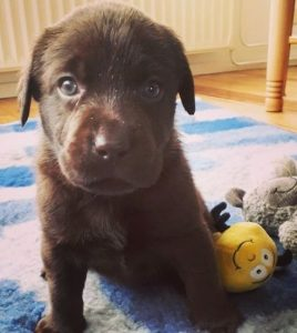 Labrador Puppies For Sale in Florida