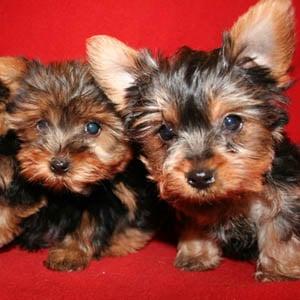 Long Island Yorkie Puppies