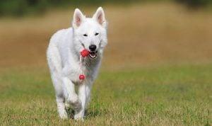 MALE WHITE-COLORED DOGS
