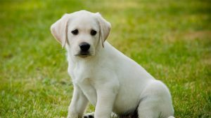 Male Cream-Colored Dogs Name