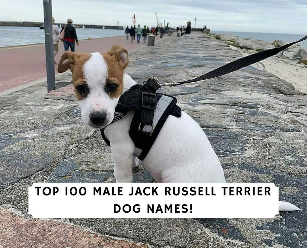 Male Jack Russell Terrier Dog Names
