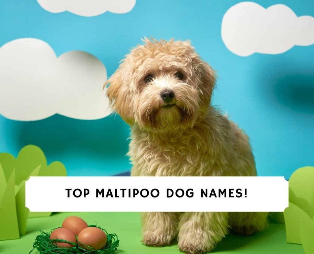 Maltipoo Dog Names