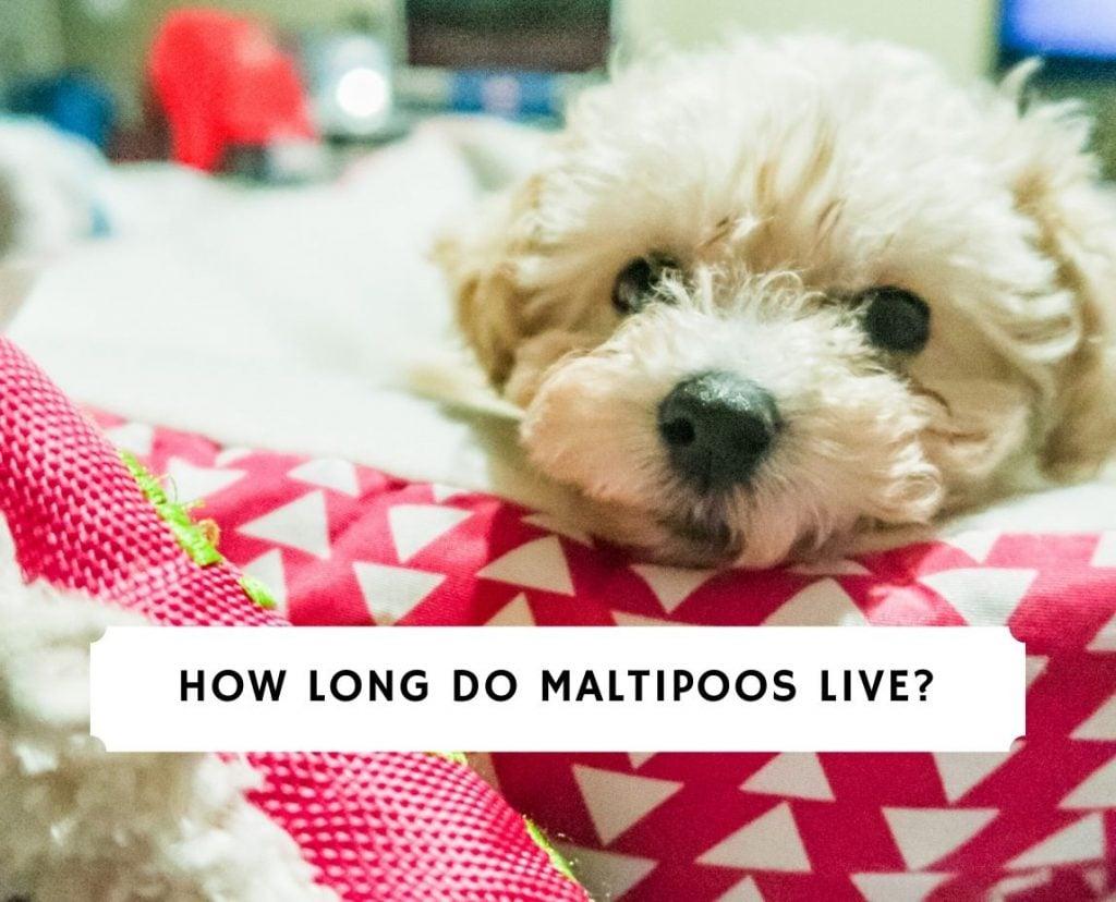 Maltipoo Lifespan