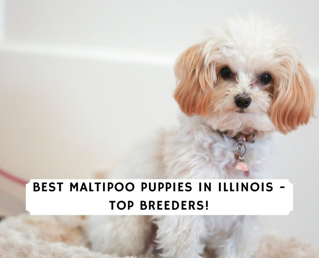 Maltipoo Puppies In Illinois