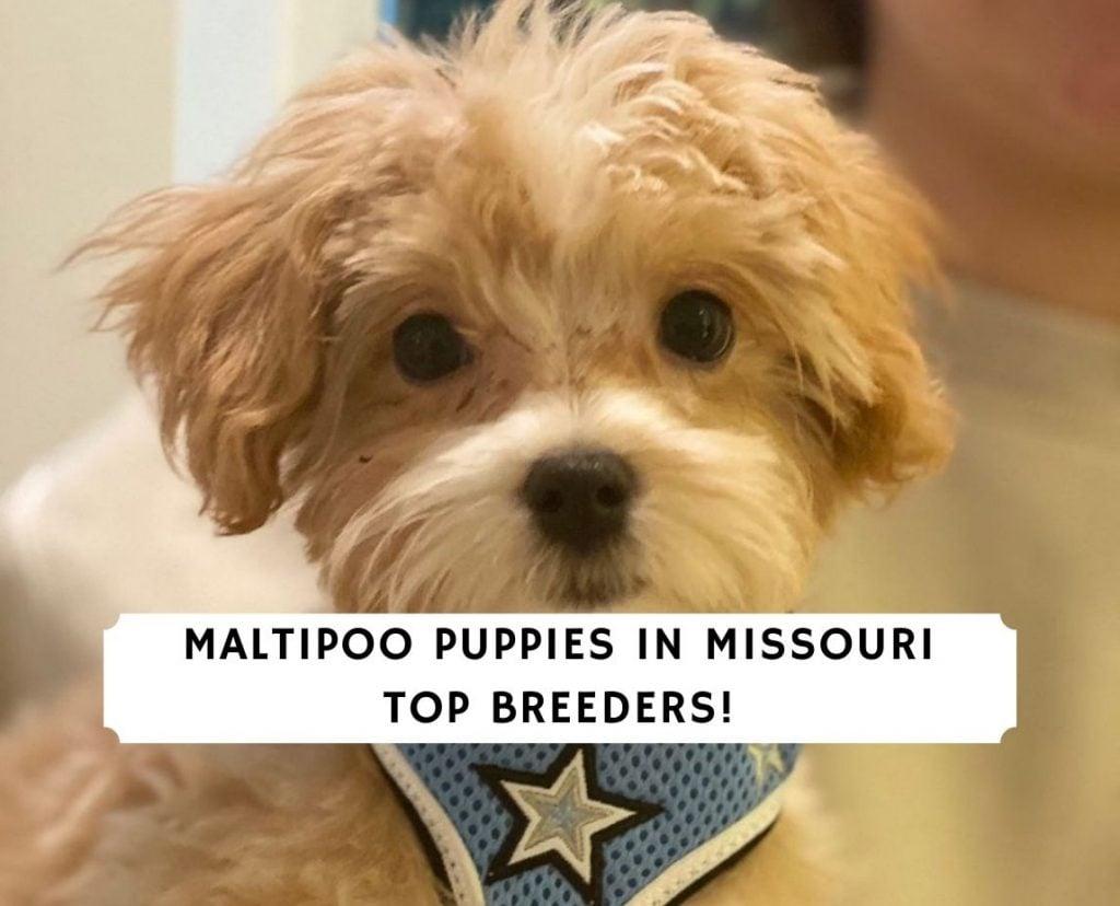 Maltipoo Puppies in Missouri