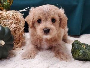 Maltipoo Puppies For Sale in Missouri