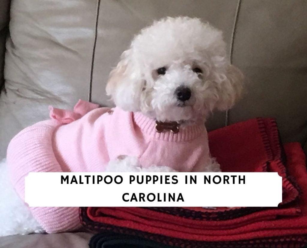 Maltipoo Puppies in North Carolina