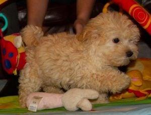Maltipoo Puppies for sale in North Carolina