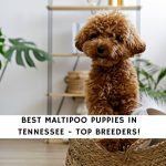 Maltipoo Puppies in Tennessee