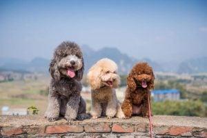Mini Poodles and Doodles