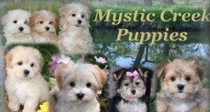 Mystic Creek Puppies