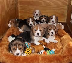New Jersey Beagles