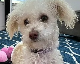 NorCal Poodle Rescue