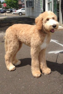 Once Upon a Time Goldendoodle Acres