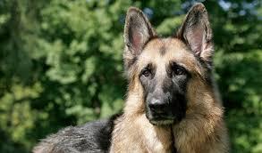 Origins of a German Shepherd