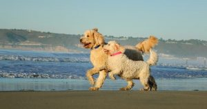 Perfect Labradoodle for your family