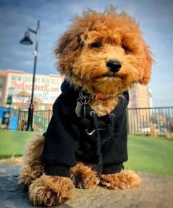 Goldendoodle Pet Stores and Animal Shelters