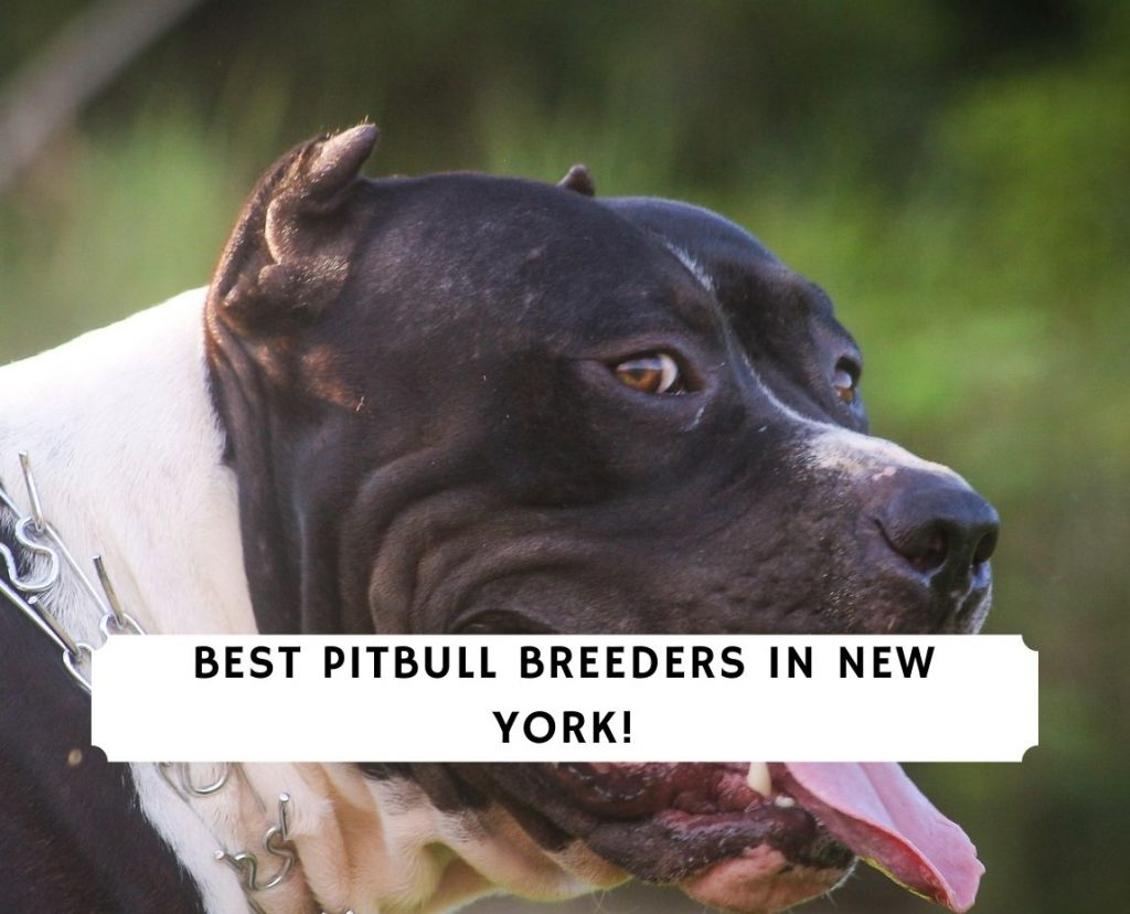 Pitbull Breeders in New York NY
