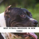 Pitbull Breeders in New York NY