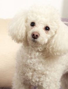 Poodle Puppies For Sale In North Carolina