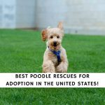 Poodle Rescues For Adoption in The US