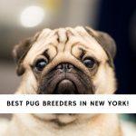Pug Breeders in New York
